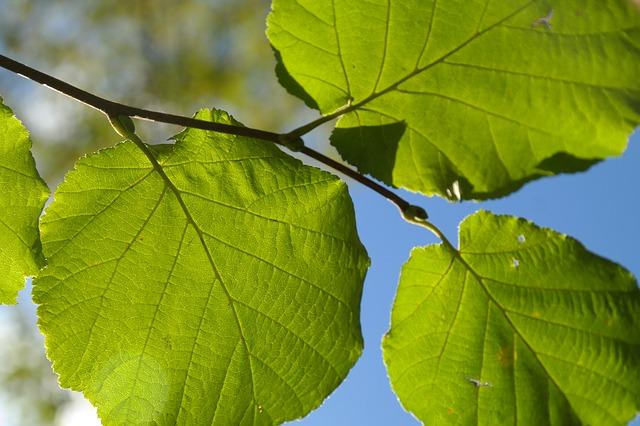 leaf photo
